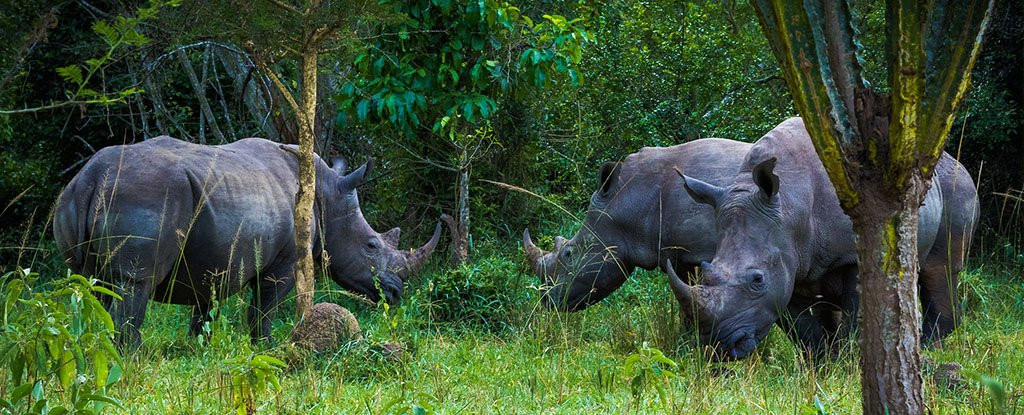 1 Day Uganda Rhino Tracking at the Ziwa Rhino Sanctuary