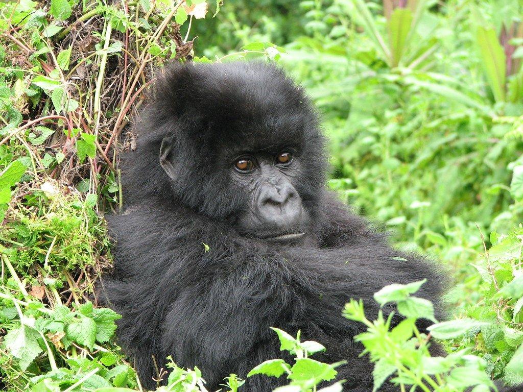 How Much Does A Gorilla Trekking Safari Cost In Uganda Rwanda And Dr Congo