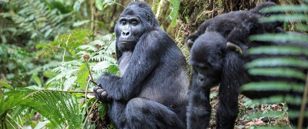 Silverback and family in Bwindi