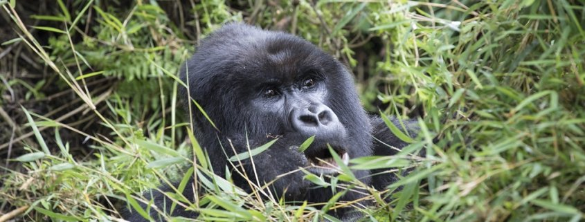 5 days Rwanda gorilla and chimpanzee trekking