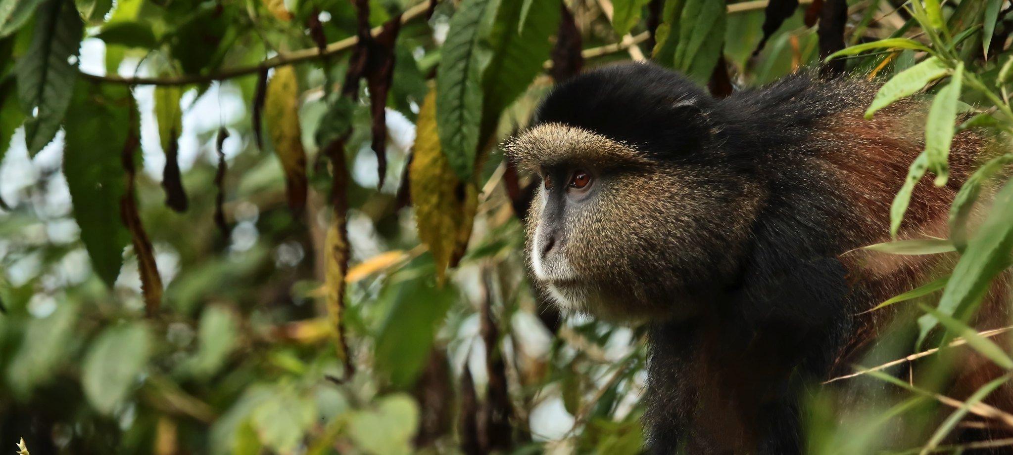 Golden monkey trekking