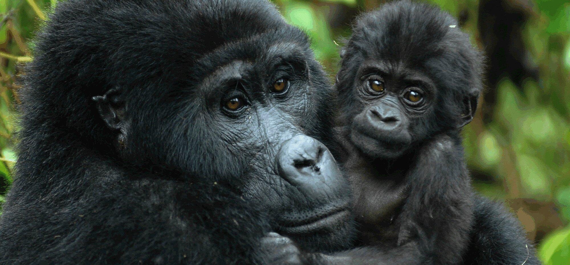 Gorilla Trekking virunga