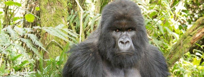 Best time to see gorillas in Rwanda