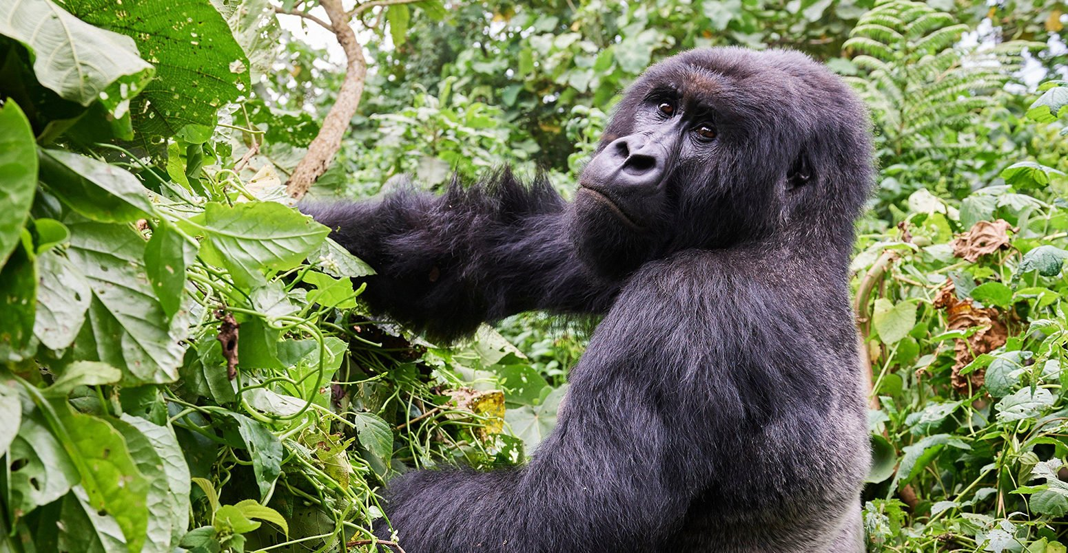 How can we save mountain gorillas from extinction